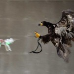 Dutch-Police-Use-Trained-Eagles-to-Tackle-Drone-Problem-featured